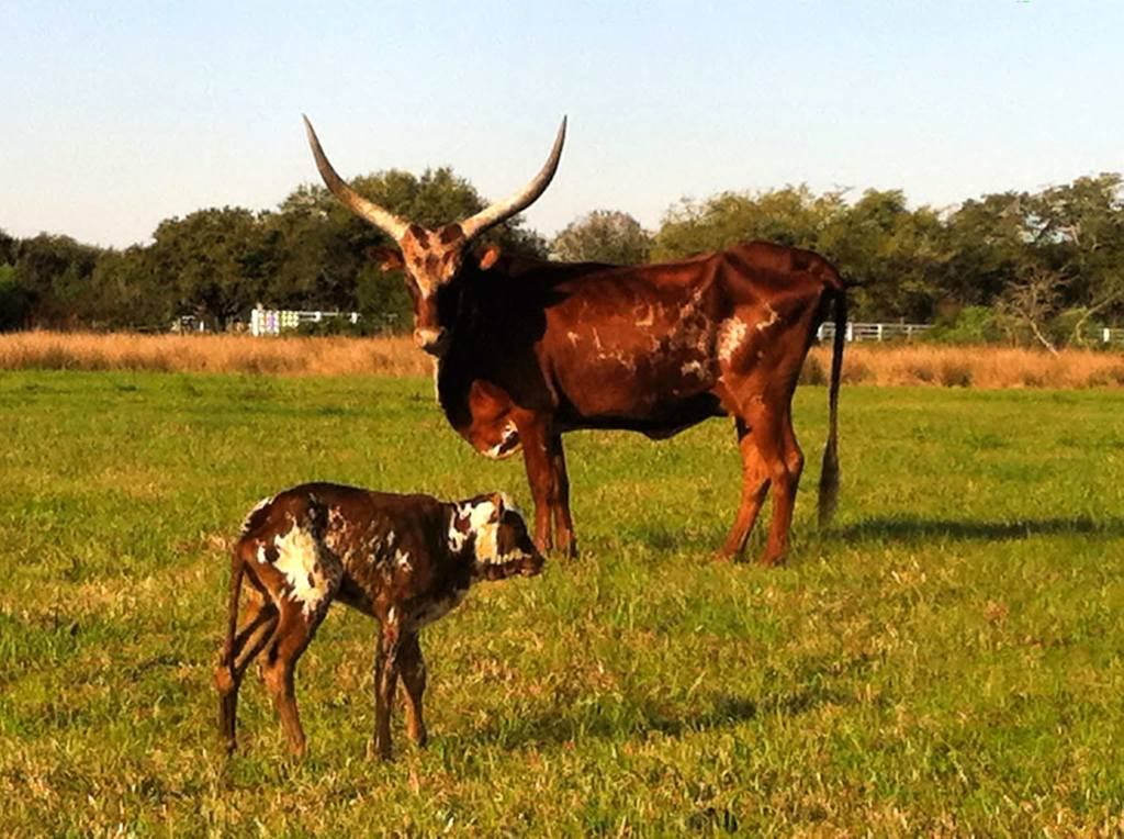 Ranch cattle.